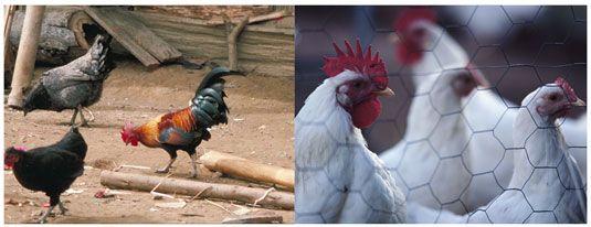 Tiere in einem Bio-Bauernhof sind humanely- Tiere in einer Geflügelfarm behandelt werden, als commoditi behandelt