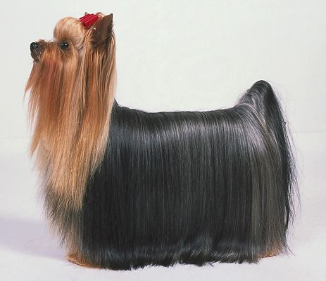 Ein Yorkie's show-quality coat is beautiful, but time-consuming to achieve.