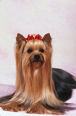 Ein Yorkshire Terrier's bow is both pretty and functional.