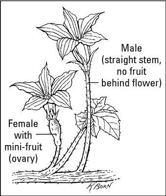 Männliche Blüten sind lang und dünn, während weibliche Blüten kurz und haben eine minifruit hinter ihren