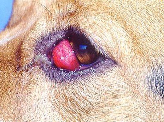 ���� - In Anerkennung Allgemeine Gesundheitsfragen in Beagles