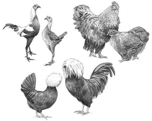 ���� - Anzeigen Hühnerrassen