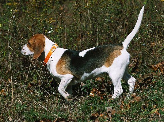 ���� - Shows und Wettbewerbe für Ihre Beagle