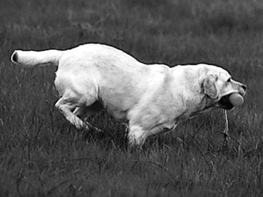 ���� - Shows und Wettbewerbe für Ihr Labrador Retriever