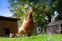 ���� - Zehn allgemeine Mißverständnisse über Chicken Gesundheit und Behandlungen