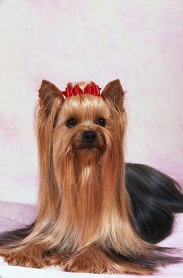 ���� - Yorkshire-Terrier-Frisuren